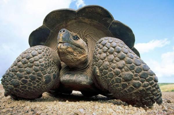 Rùa Chelonoidis Donfaustoi.