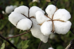 Monsanto royality restricted in BT cotton