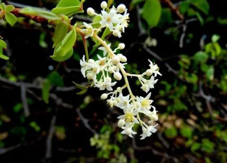 Umbuzeiro flores Eduardo Henrique