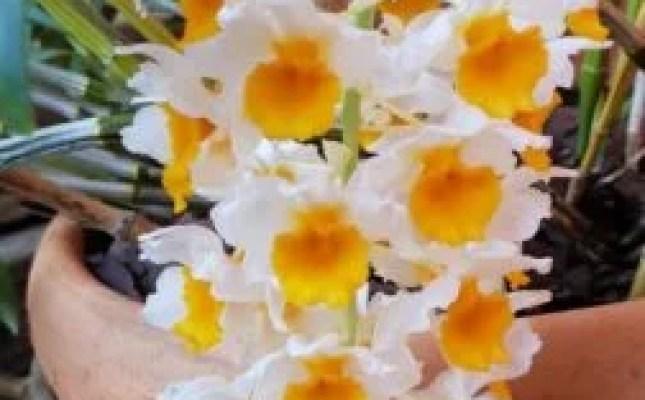 Orquídeas: Nada de Veneno, use Canela!