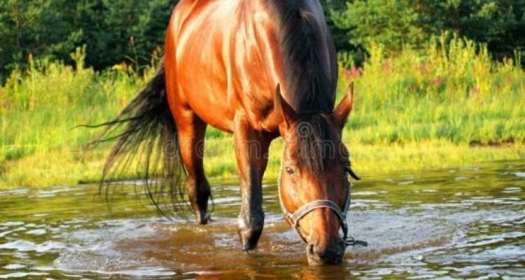 Beba água onde o cavalo bebe