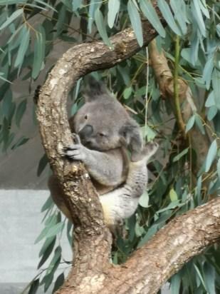Koala à Zurich Zoom x10.