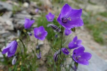 Sony Vlog ZV-1: flore alpine.