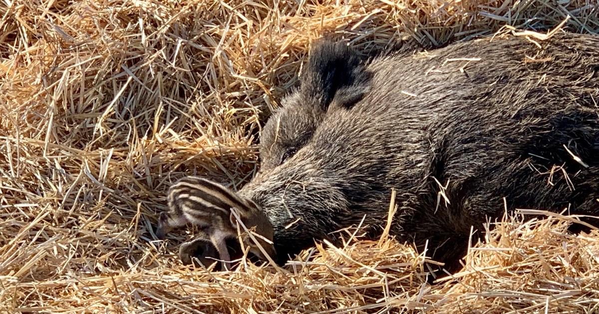 Wildschwein im Stroh