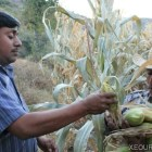 Destina SEDAFPA 33 MDP a productores afectados por contingencias climatológicas