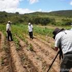 En riesgo de desaparecer maíces criollos mixtecos