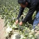 Heladas dañan 225 hectáreas de calabaza y maíz
