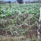 Evalúa SEDAPA daños en cultivos de maíz por granizadas