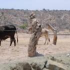En riego animales por plaga de garrapata en la Mixteca