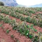 Beneficiarán a 3 mil productores por cultivos dañados en la Mixteca