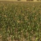 Reportan pérdida de siembras de maíz por efectos de canícula en la Mixteca