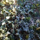 Heladas provocan afectación en cultivos de calabacitas y frijol en Huajolotitlán