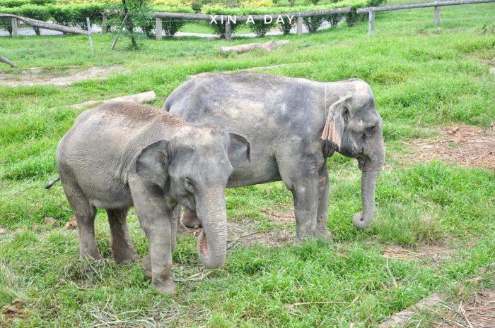 大象保育中心 Kuala Gandah Elephant Sanctuary