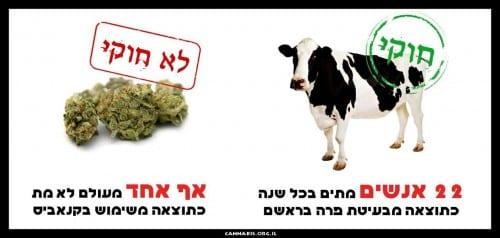 בעיטות פרה הורגות 22 אנשים בכל שנה