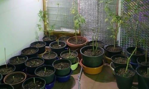 33 עציצי קנאביס שנתפסו בבית שמש