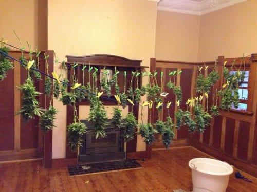 גיזום יבש - פרחים תלויים בסלון לפני גיזום