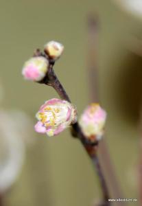 Die ersten zarten Barbarablüten
