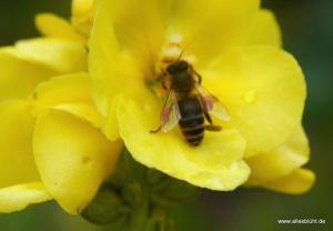 Biene in Königskerze