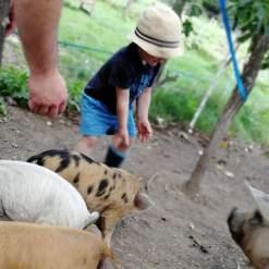 Schweine streicheln mit Kids