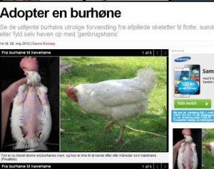 Læs artiklen i EkstraBladet online om burhøns