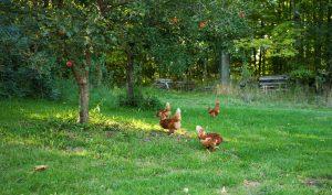 høns i haven - placering af hønsehuset