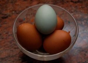 Araucana æg, blå araucana æg