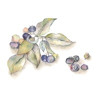 112.maqui-berry