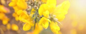 Gorse Stechginster Unsicherheit Lemon Pharma Original Bachblüten