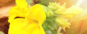 Mimulus Gefleckte Gauklerblume Angst und Sorge Lemon Pharma Original Bachblüten