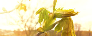 Chestnut Bud Knosper der Rosskastanie Desinteresse an der Gegenwart Lemon Pharma Original Bachblüten