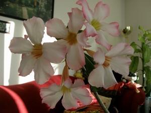 砂漠のバラ(薔薇)アデニウム・オベスム育て方簡単な観葉植物