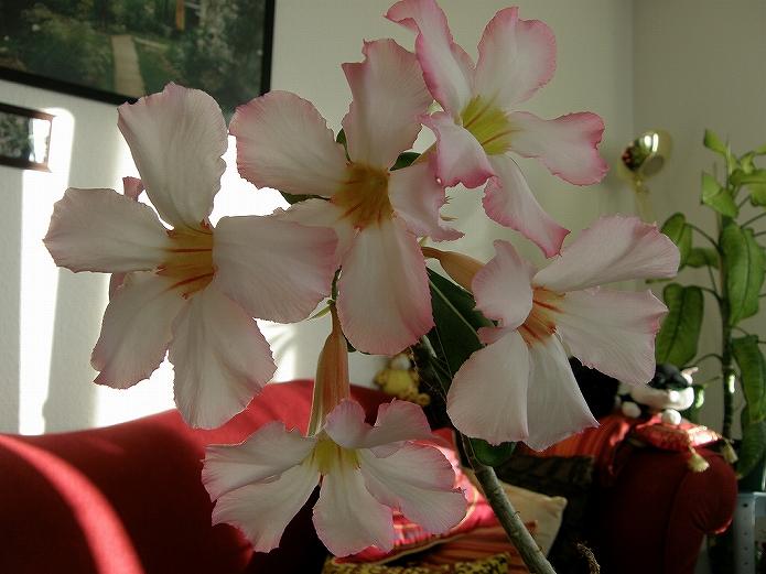 砂漠のバラ(薔薇)アデニウム・オベスムは育て方簡単な観葉植物