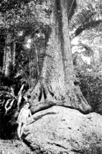 Tioman - Urwaldbäume