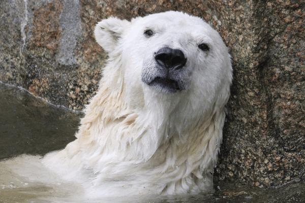 Surullinen jääkarhu