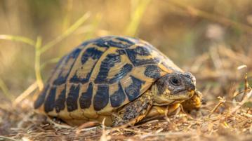 Арестуваха мъже, притежаващи костенурки от застрашен вид