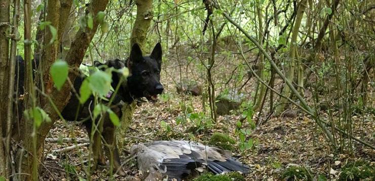 Кучето Барс намери отровен лешояд