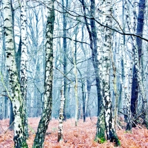 Winter forest (Photography)