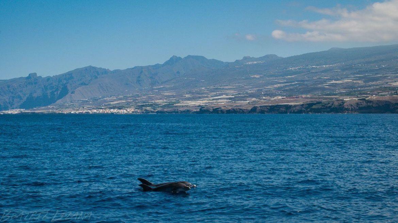 Cetáceos en la costa de Tenerife