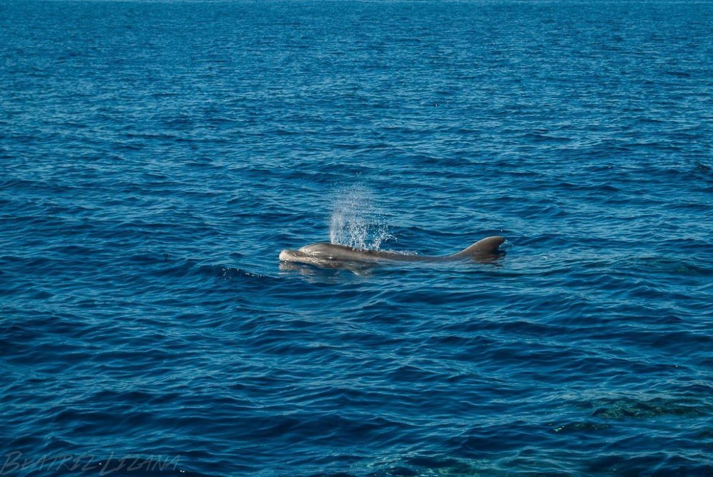 delfín mular en el océano Atlántico