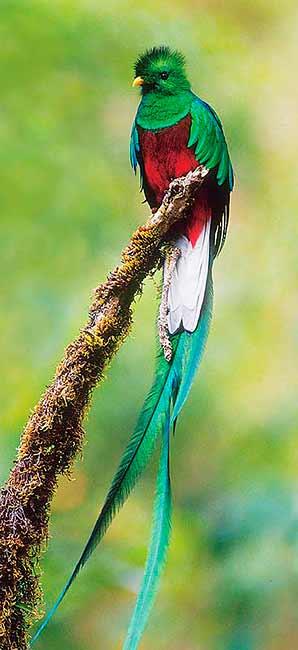 Arriba: una fotografía del Quetzal en todo su esplendor. Esta es el ave símbolo de la República de Guatemala.