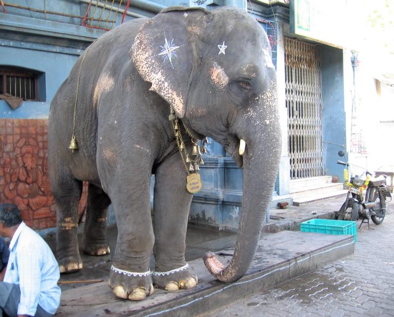 Eléphant maquillé devant un temple indien