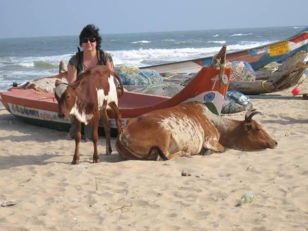 Inde touriste sur une plage en Inde au milieu de 2 vaches
