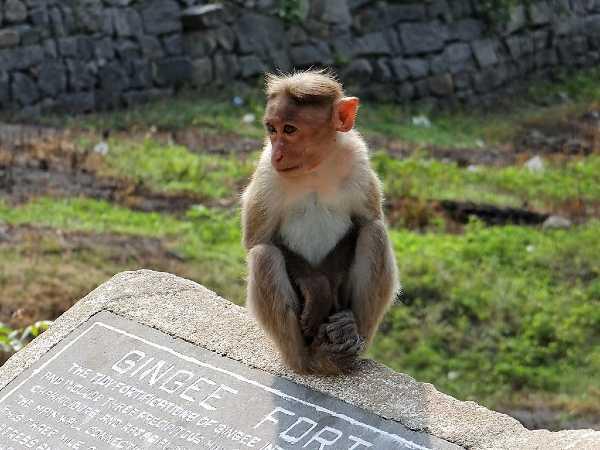 Inde singe assis sur une pierre