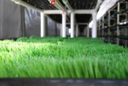 Wheatgrass- All you need to know
