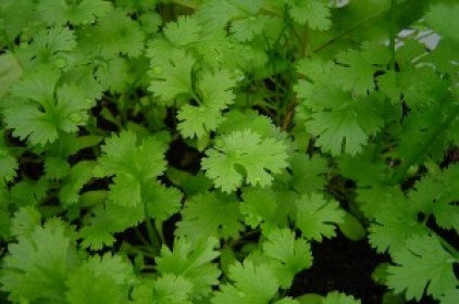 Eat dhania or coriander helps to relieve swelling and pain
