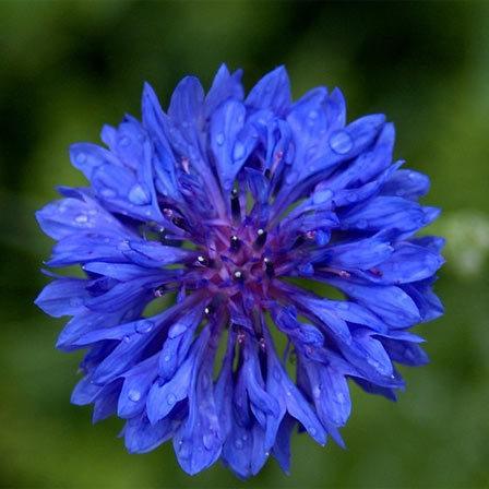 Bachelor Button Flower, blue flowers
