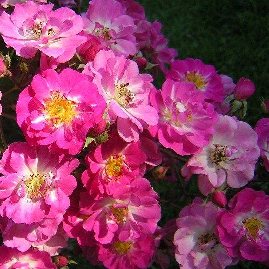 Belinda Musk Rose, Beautiful roses
