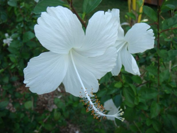 White Hibiscus, White Flowers