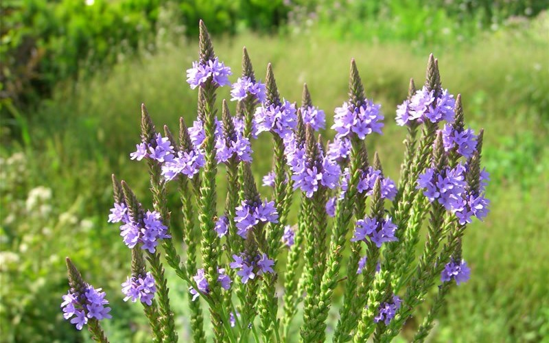 Health Benefits of Blue Vervain
