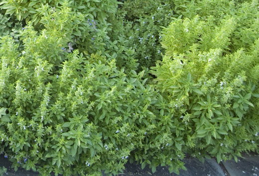 Thyme herb health Benefits